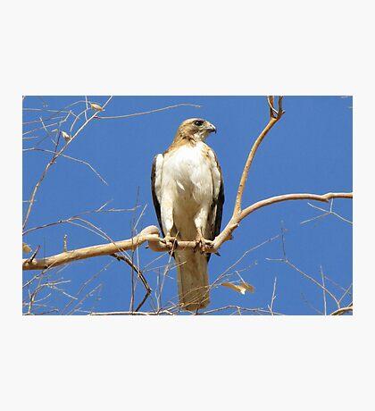 Red-tailed Hawk (Light Morph) ~ Proud Parent Photographic Print