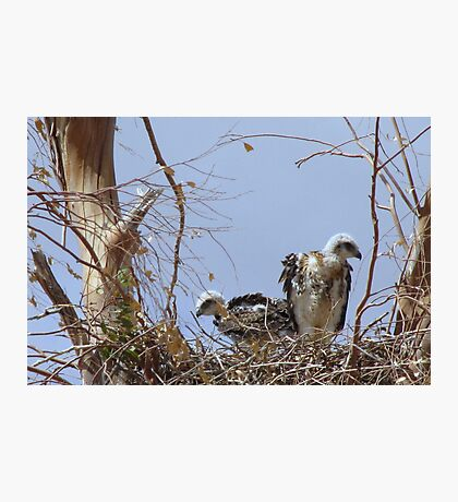 Red-tailed Hawks ~ Babies V Photographic Print