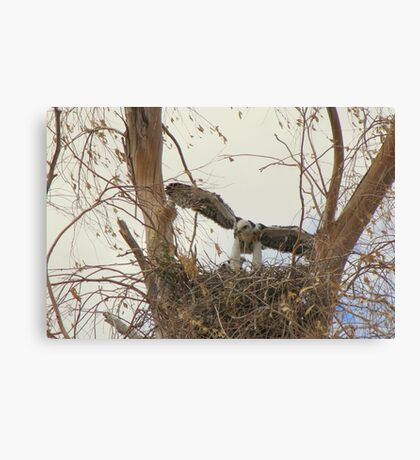 Red-tailed Hawks ~ Babies VI Canvas Print