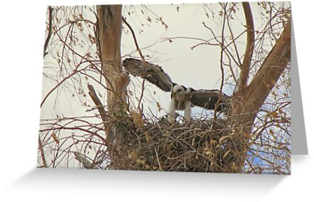 Red-tailed Hawks ~ Babies VI by Kimberly Chadwick