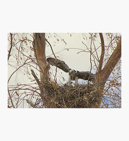 Red-tailed Hawks ~ Babies VI Photographic Print