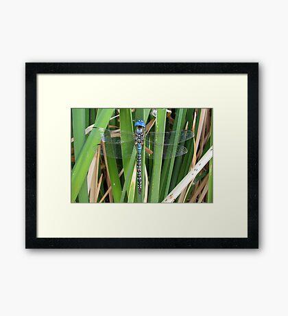 Dragonfly ~ Blue-Eyed Darner (Male) Framed Print
