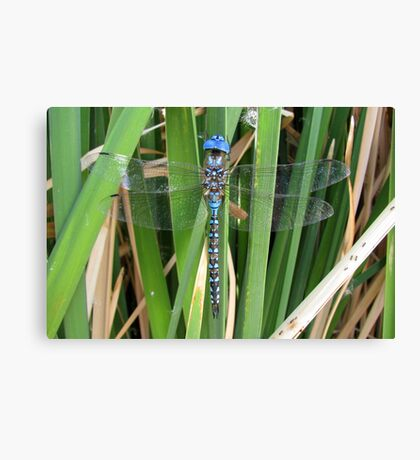Dragonfly ~ Blue-Eyed Darner (Male) Canvas Print