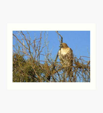Red-tailed Hawk ~ Watching Art Print