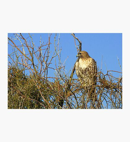 Red-tailed Hawk ~ Watching Photographic Print