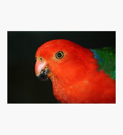 Christmas Colours - King Parrot  Photographic Print