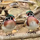 A Pair of Wood Ducks by Jeff Ore