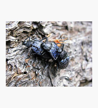 Pleasing Fungus Beetles ~ Gibbifer californicus Photographic Print