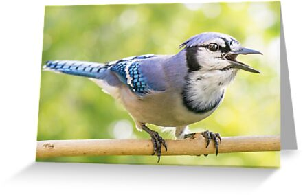 Calling Blue Jay by Jim  Hughes