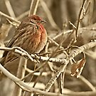 House Finch, Photo by Donna Ridgway, Vaughn, Montana by Donna Ridgway
