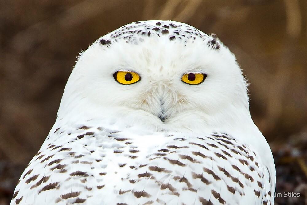 Snowy Owl Portrait by Jim Stiles