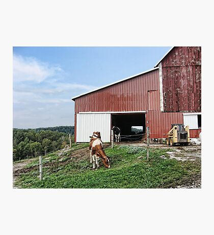Til the cows come home Photographic Print