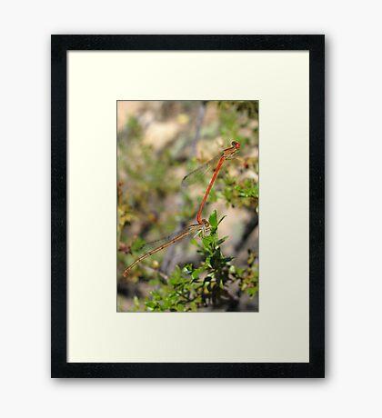 DameselFlies ~ Desert Firetail pair copulating Framed Print