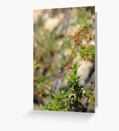 DameselFlies ~ Desert Firetail pair copulating Greeting Card
