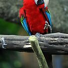 Scarlet Macaw - Singapore. by Ralph de Zilva