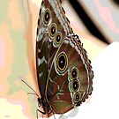 Bulles Eye Butterfly by Don Wright