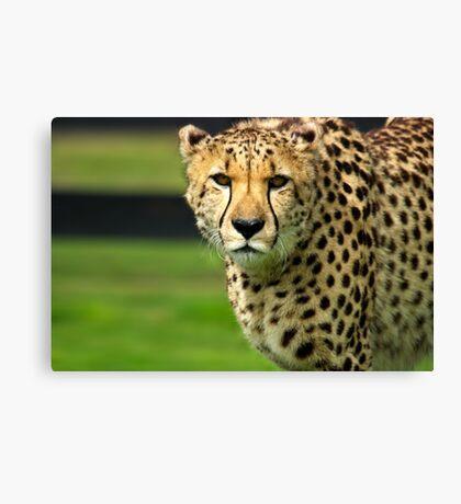 Cheetah - Face to Face - 38,585 Views Canvas Print