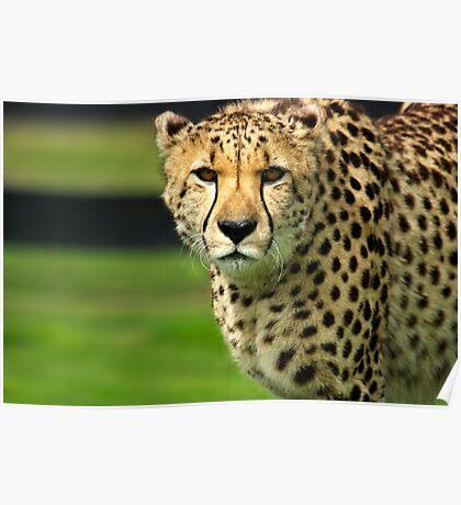 Cheetah - Face to Face - 38,585 Views Poster