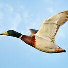 Male Mallard Duck In Flight by Kathy Baccari