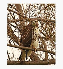 Red-Tailed Hawk Looking Right at Me Photographic Print
