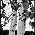 B&W Birch Tree by apsjphotography
