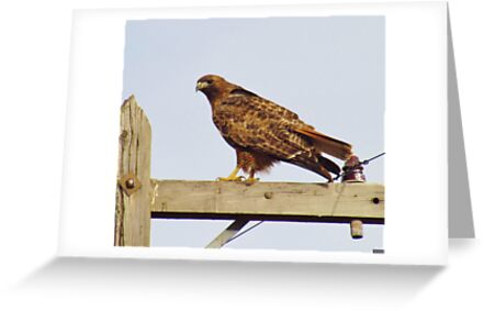 Red Tailed Hawk #2 by Brenda Dahl