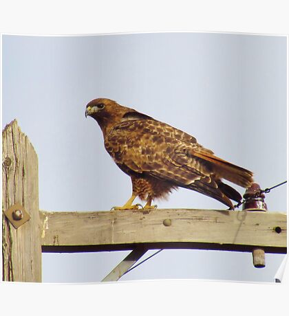 Red Tailed Hawk #2 Poster