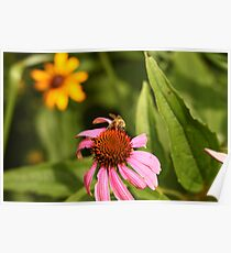 Echinacea with Bee 8670 Poster