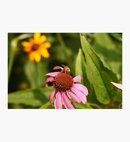 Echinacea with Bee 8670 Photographic Print