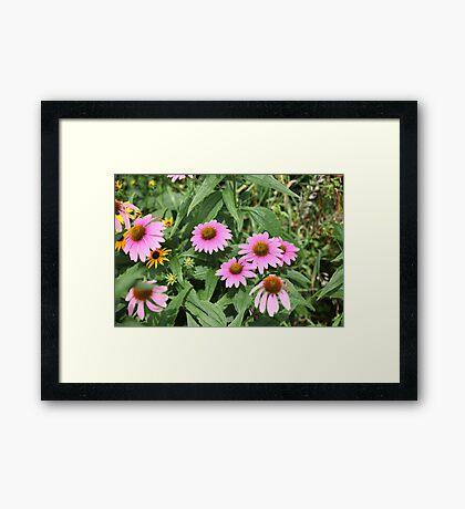 Echinacea 8679 Framed Print