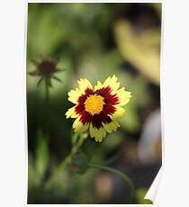 Calliopsis 6775 Poster