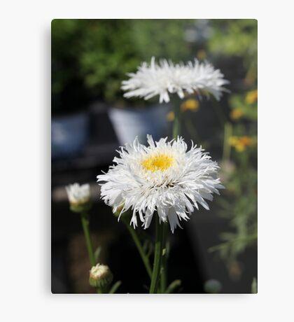 Chrysanthemum 6777 Metal Print