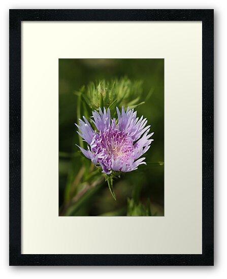 Chyrsanthemum 6828 by Thomas Murphy