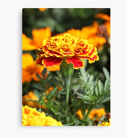 Marigold  Flower 7109 Canvas Print