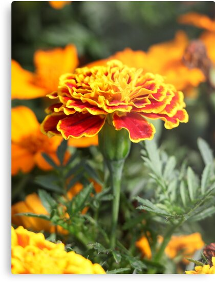 Marigold  Flower 7109 by Thomas Murphy