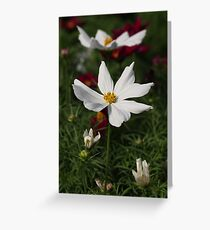 White Cosmos 7133 Greeting Card
