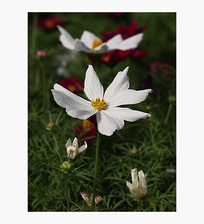 White Cosmos 7133 Photographic Print