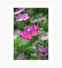 Cosmos Flower 7142 Art Print