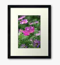 Cosmos Flower 7142 Framed Print
