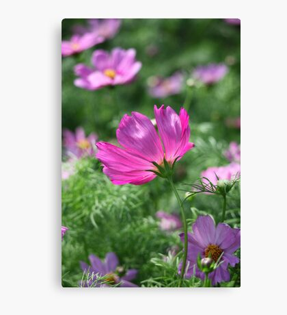 Cosmos Flower 7142 Canvas Print