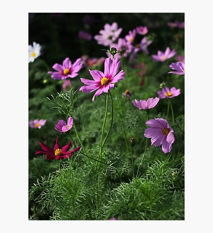 Cosmos Plus 7145 Photographic Print