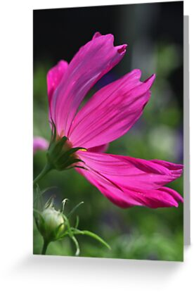 Cosmos Flower 7166 by Thomas Murphy