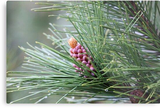 Pine Cone 3075 by Thomas Murphy