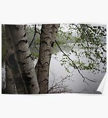 Birch Tree Waterscape 3229  Poster
