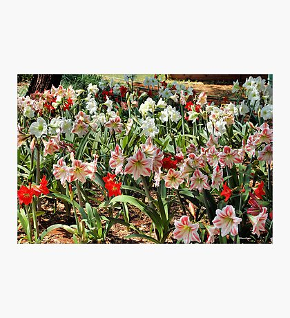 IN ABUNDANCE - AMARYLLIS Photographic Print