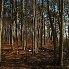 Golden Cedars by RVogler