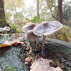 Open Bell Cap Fungi by Ray Clarke