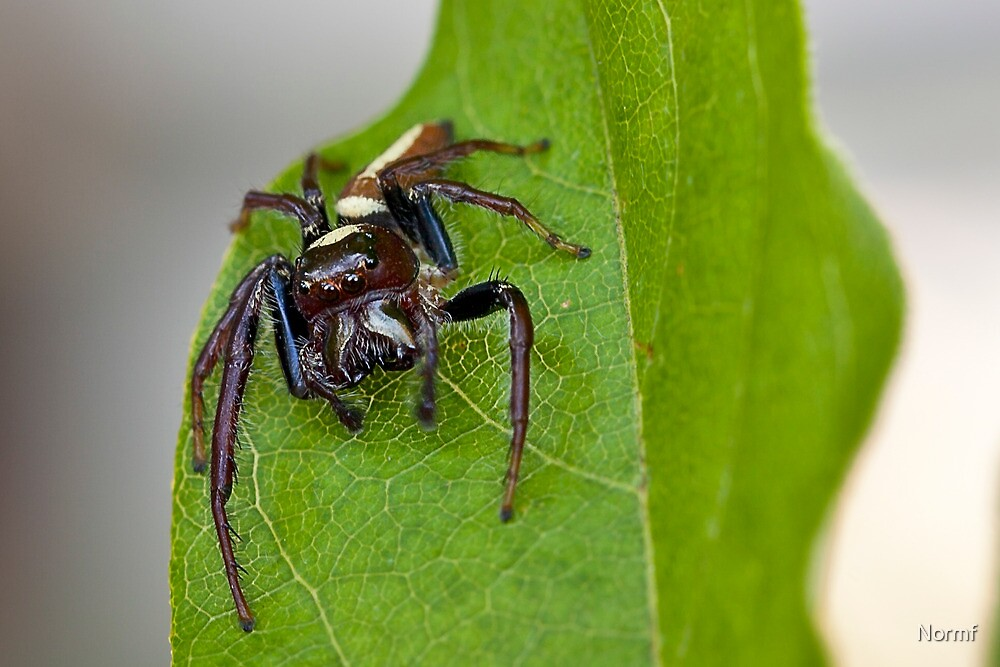 Biting Jumping Spider - Opisthoncus mordax by Normf