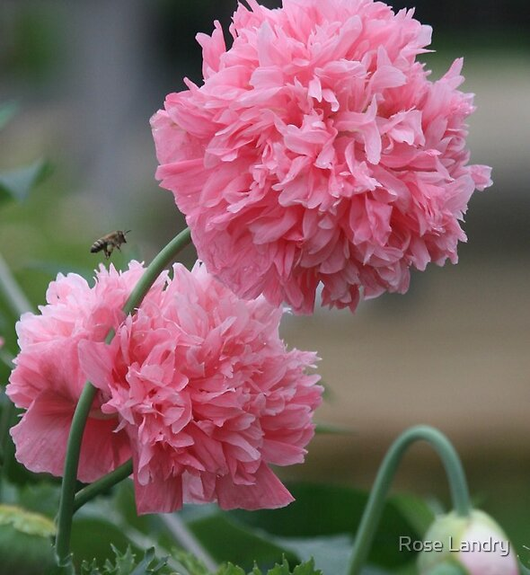 Pink Oh So Pink Poppy by Rose Landry