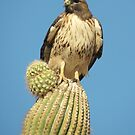 Red-tailed Hawk ~ Saguaro Sitting by Kimberly Chadwick